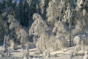 FIN0207_0092_Frozen forest (Finland)