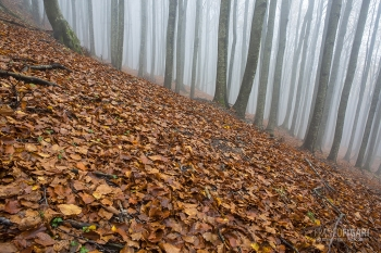 CAS1015_0093_Mist in the Casentino beech forest (Italy)