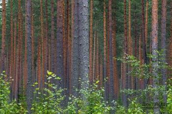 FIN0812_0094_Pine forest (Finland)