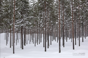 FIN0212_0098_Pine trees in the taiga (Finland)