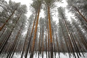 FIN0219_0110_Pine trees in the taiga (Finland)