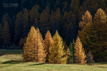 SVI1019_0790_Larch trees with autumn colours (Engadina, Switzerland)