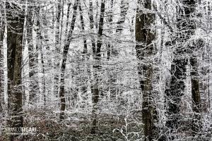 FRA1217_0100_Soft rime in the Bourgogne-Franche-Comtè forest (France)