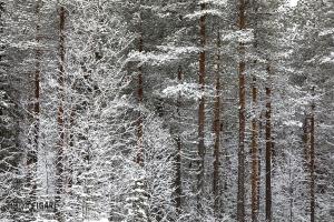 FIN0219_0111_Taiga in Northern Finland