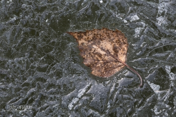 FIN0314_0130_A leaf trapped in the ice of a frozen lake (Finland)