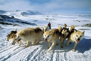 GRO0401_0178_Dogsled in the Disko Bay area (Greenland)