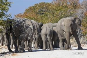 NAM0815_0262_Elephants have right of way (Etosha National Park, Namibia)