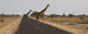 NAM0815_0271_Giraffes have right of way (Etosha National Park, Namibia)