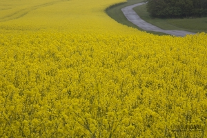 DAN0514_0254_Rapeseed fields in the Jutland Peninsula (Danemark)