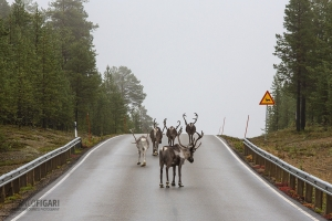 FIN0915_0255_Reindeer have right of way (Lapland, Finland)
