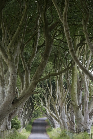 IRL0714_0261_The Dark Hedges, an avenue of spectacular beech trees (Northern Ireland)