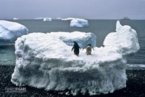 ANT1106_0272_Adelia penguins (Antarctica)