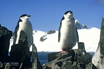 ANT1106_0274_Chinstrap penguins (Antarctica)