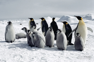 ANT1106_0282_Emperor Penguins, Weddell Sea (Antarctica)