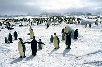 ANT1106_0278_Emperor penguin colony (Antarctica)