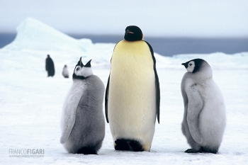 ANT1106_0280_Emperor penguin with chicks, Snow Hill (Antarctica)