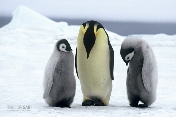 ANT1106_0281_Emperor penguin with chicks, Weddell Sea (Antarctica)