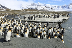SGE1109_0285_King penguin colony at St. Andrews Bay (South Georgia)
