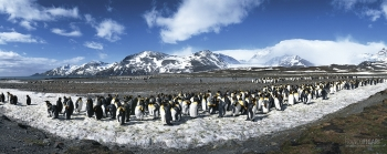 SGE1109_0286_King penguins (South Georgia)