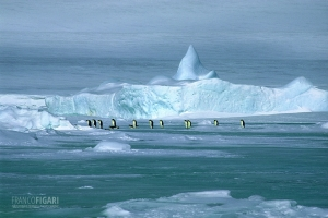 ANT1106_0292_The march of the emperor penguin, Weddell Sea (Antarctica)