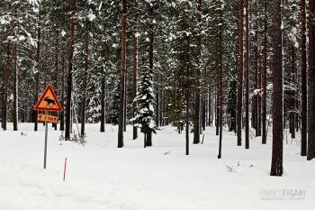 LAP0315_0701_Beware of the elk (Finland)