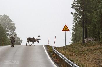 LAP1014_0694_Beware of reindeer (Finland)