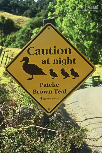 NZE0106_0724_Beware of the pateke brown tail (New Zealand)