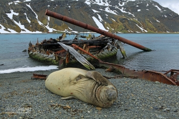 SGE1109_0389_Elephant seal and old wreck at Grytviken Bay (South Georgia)