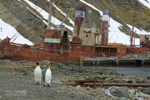 SGE1109_0392_King penguins wandering among old wrecks at Grytviken Bay (South Georgia)