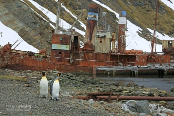 SGE1109_0392_King penguins wandering among old wrecks at Grytviken Bay (South Georgia)
