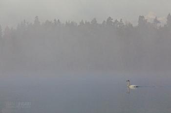 FIN0719_0809_Swan in the mist (Finland)