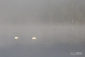FIN0813_446_Swans in the fog (Southern Finland)