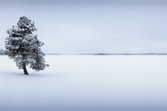 FIN0310_478_Solitary pine tree on the shores of the frozen Livojärvi lake (Northern Finland)