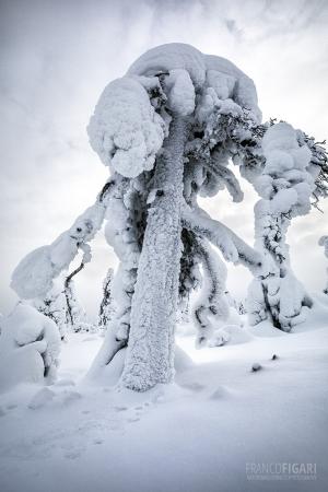 RII0218_0518_Frozen pine tree (Riisitunturi National Park, Finland)