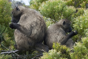 SAF0214_0553_Baboons at Cape of Good Hope (South Africa)