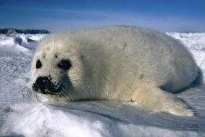 CAN0207_0556_Baby harp seal on the frozen sea (Iles de la Madeleine, Canada)
