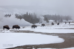 YEL0210_0558_Bison marching across the Old Faithful Geyser area (Yellowstone National Park, USA)
