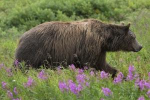 ALA0814_0559_Close encounter (Katmai National Park, Alaska, USA)