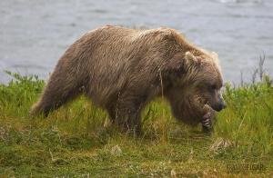 ALA0814_0560_Close encounter in Katmai National Park (Alaska, USA)