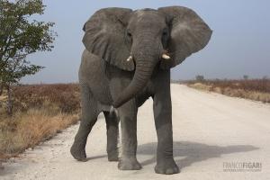 NAM0815_0561_Close encounters on the dirt roads of Etosha National Park (Namibia)