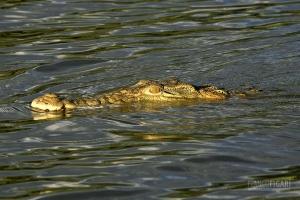 TAN0109_0563_Crocodile in Selous Game Reserve (Tanzania)