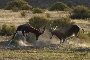 SAF0214_0564_Duelling bontebok in the Cederberg Mountains (South Africa)