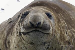 SGE1109_0565_Elephant seal (South Georgia)
