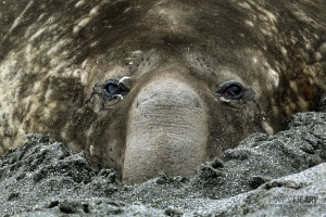 NAM0815_0567_Elephant seal resting in the sand (South Georgia)