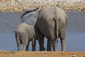 NAM0815_0568_Elephants by the water pool of Okaukuejo Camp in Etosha National Park (Namibia)