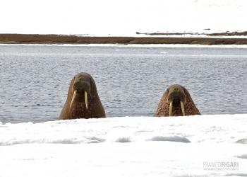 FJL0719_0674_Curious walruses! (Franz Josef Land, Russia)