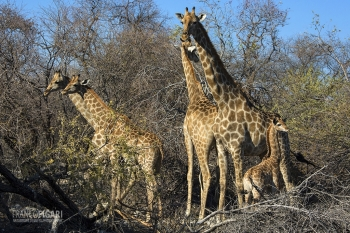 NAM0815_0570_Family of giraffes in Etosha National Park (Namibia)