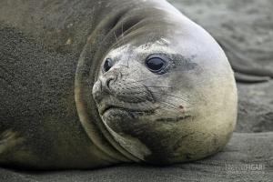 SGE1109_0571_Female elephant seal (South Georgia)