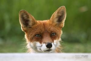 NOR0711_0572_Fox on the doorstep looking for food (Norway)