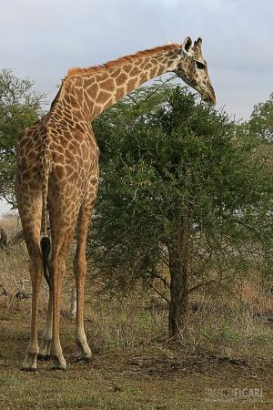 TAN0109_0573_Giraffe in Selous Game Reserve (Tanzania)